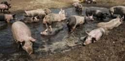 cerdos-en-el-barro